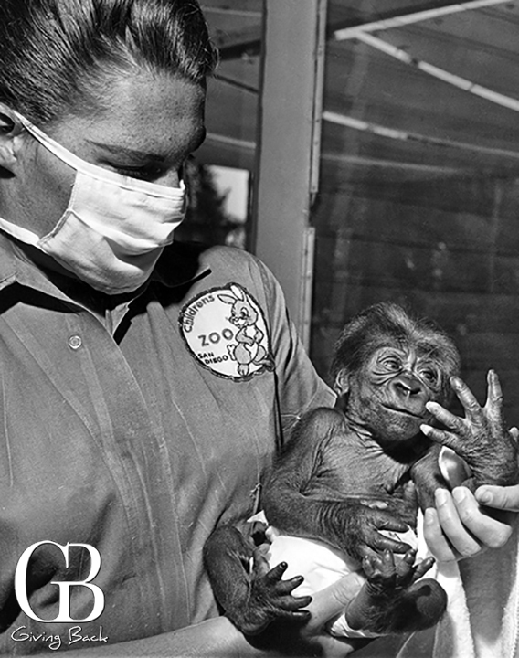 Alvila  the first gorilla born at the zoo
