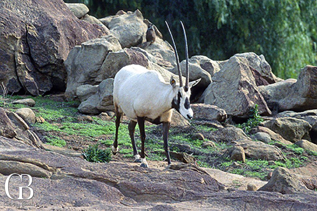 Saudi Arabian Oryx